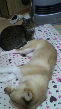 『トムとジェリー』みたいに、追いかけっこして、疲れて眠るちびめとうそじゃ。