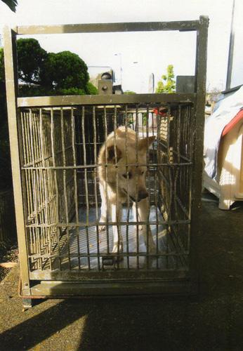 捕獲器に捕まってしまった『シロ』。鉄格子の歪みは、これまで捕えられ殺処分されていった犬たちの届かない抵抗の痕跡です。