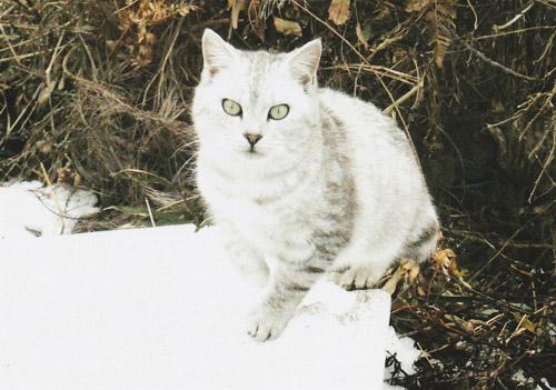 今年の春に生まれた子猫は初めての冬を迎えます。山の上はさらに雪が積もります。