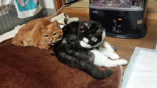 成猫で保護され十数年…、盲目の『ミミオ』と三本脚の『ダン』ちゃんは一緒に年を取ってきました。