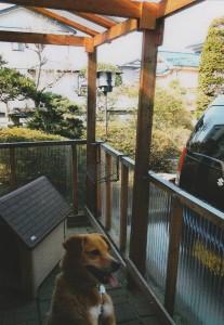 加藤さんが作ってくれた立派な犬舎で自由闊達に暮らすバロン