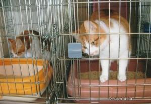 山で自由な生活をしていた猫達は窮屈なケージに入れられているが、お利口さんにしている。