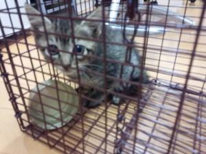 捕獲器に入った子猫。おいしい缶詰めで次々5匹が捕まった。