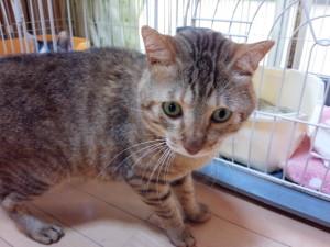 交通事故に遭い、保護されていた中学校で熱中症にもなり、失明して脳障害も受けた被災猫ニャーゴ。
