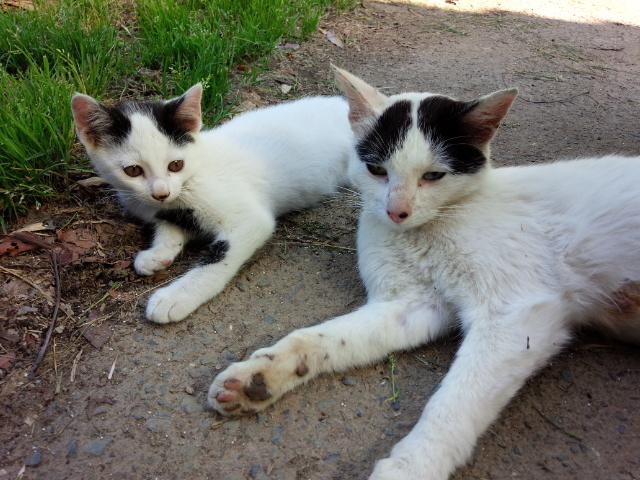 5匹の子猫を、懸命に育てていた野良猫。1匹が交通事故死した後、3匹を保護して里親探し中。母親も避妊しました。